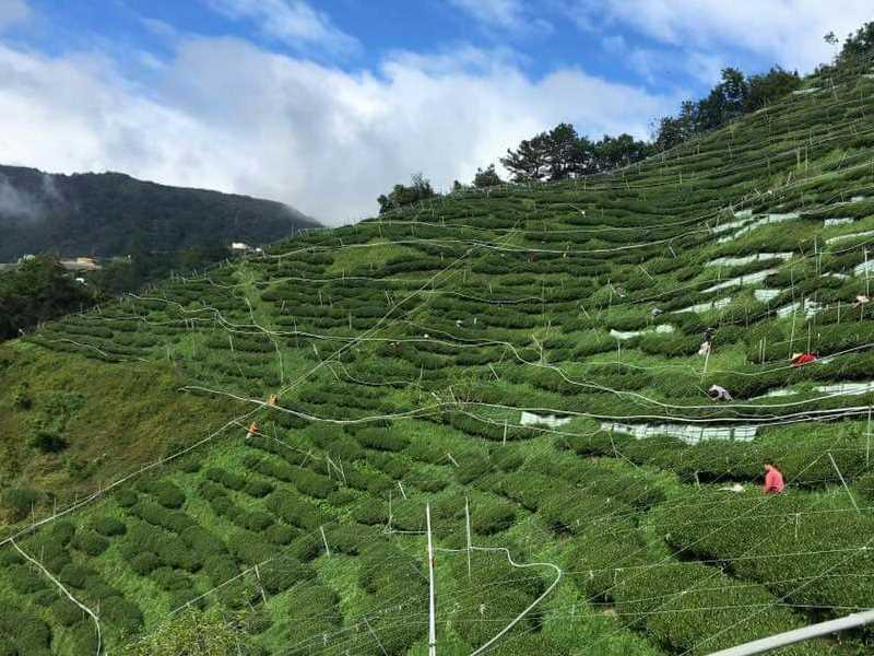 福寿山茶区