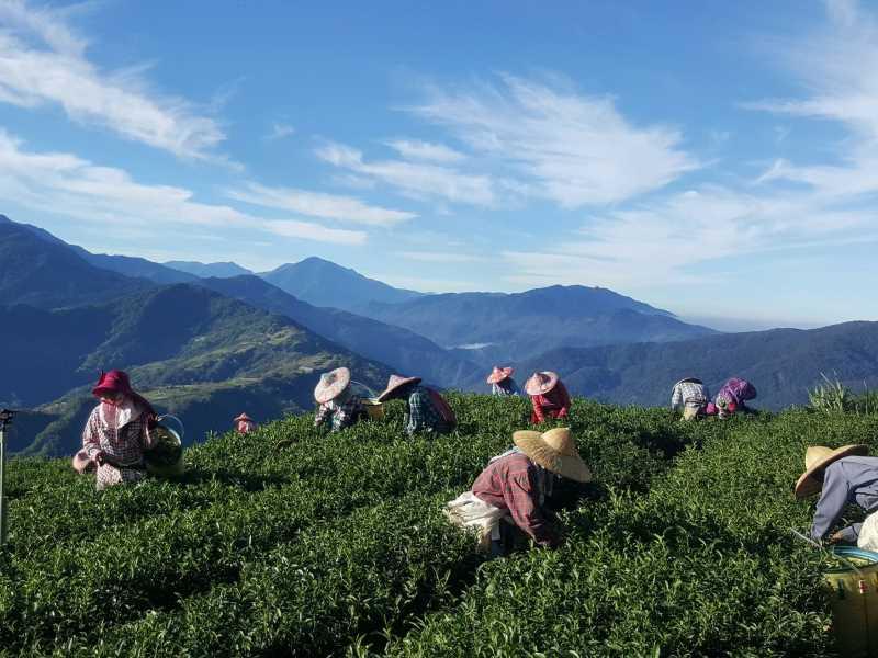 合欢山茶区