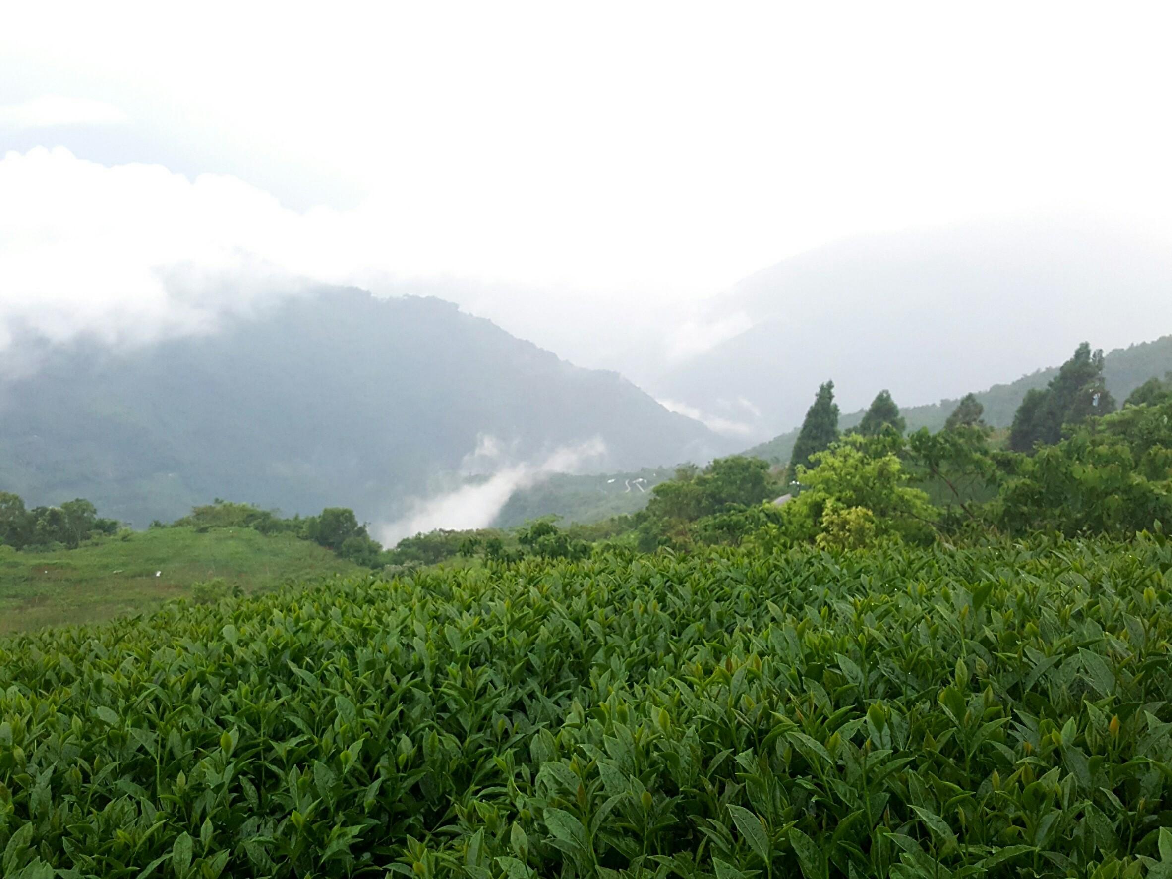 拉拉山茶区