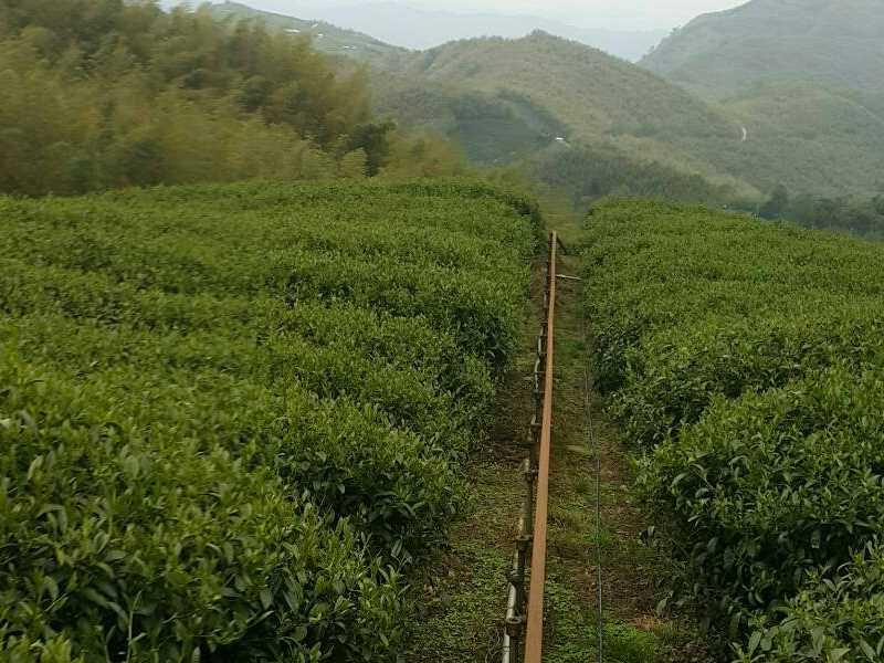 杉林溪茶区